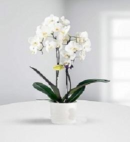 2li Orkide